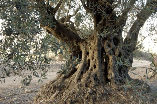טיול אל זקני הזיתים בגליל