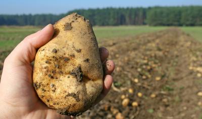 תפוח אדמה: גלגולו של בולבוס