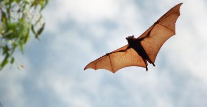 עטלפים: עדינותם של מכונפי היד