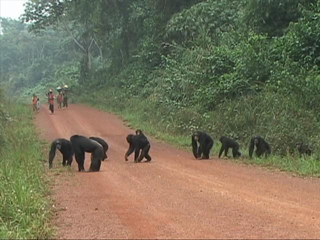 שימפנזים – כך חוצים כביש