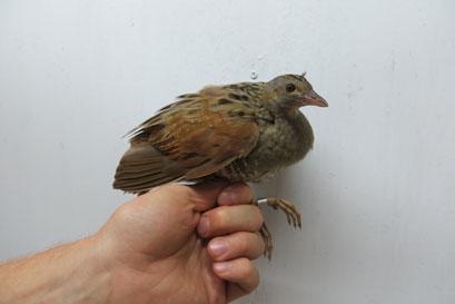 גל החום באילת פגע בציפורים הנודדות