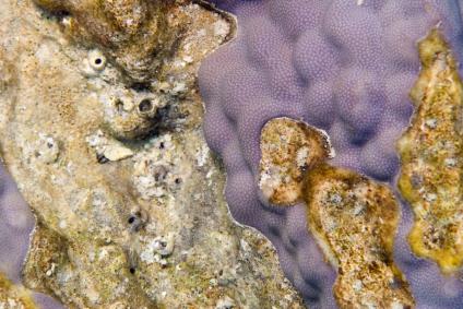שוניות האלמוגים בסכנת הכחדה