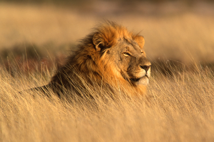 האריות בקניה בסכנת הכחדה