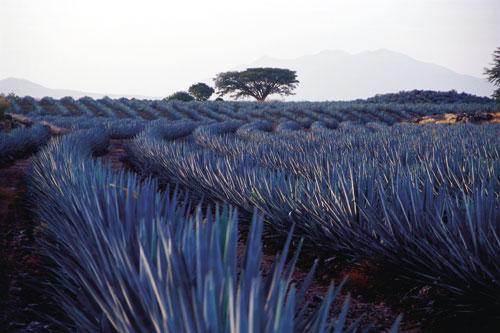 טקילה: המשקה הלאומי המקסיקני