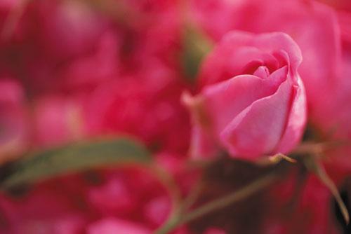 שמן ורדים: רוזה האלוהית