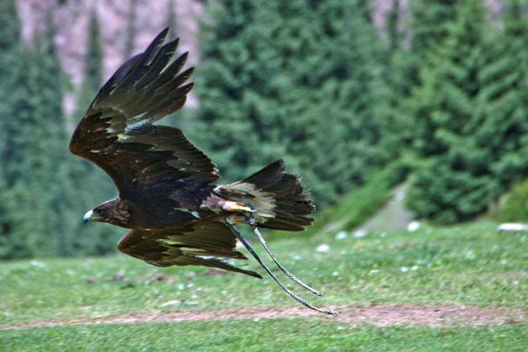 קירגיזסטן – ציד באמצעות עופות דורסים
