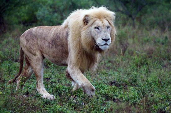 דרום אפריקה: האריות הלבנים חוזרים לטבע