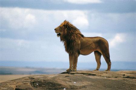 שמורות בקניה – אריה  על סף אוהלי