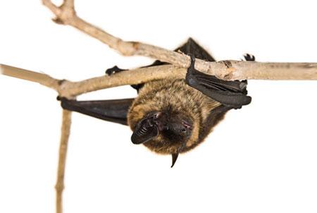 עטלפים: התועלת