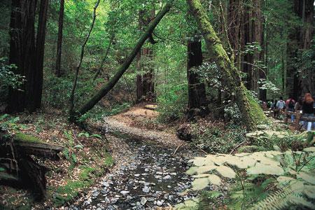 קליפורניה: יער מיור