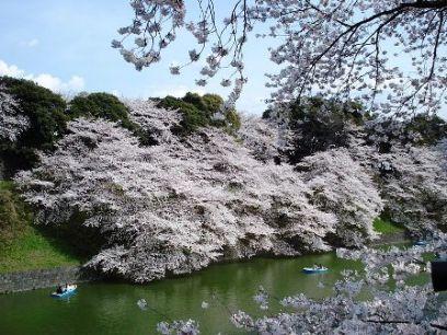 בצל האסון ביפן: וושינגטון חוגגת את פריחת הדובדבן