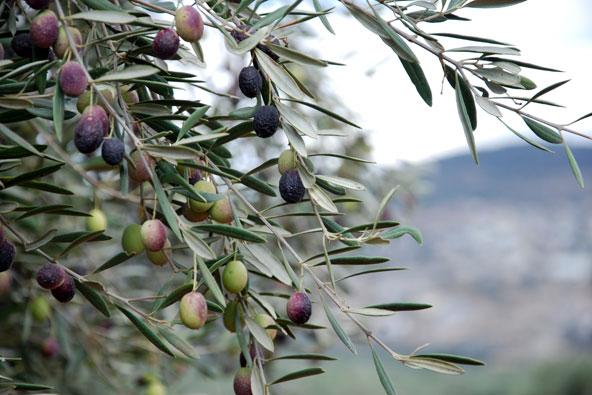 עונת המסיק – בעקבות הזיתים