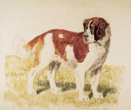 כלבי סן ברנרד – הקדושים של האלפים