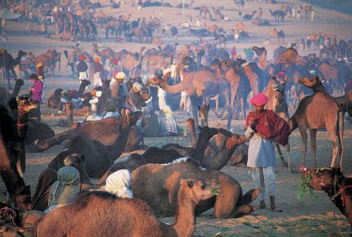 הודו – יריד הגמלים בפושקאר