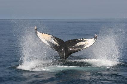 צפייה בלווייתנים בקנדה