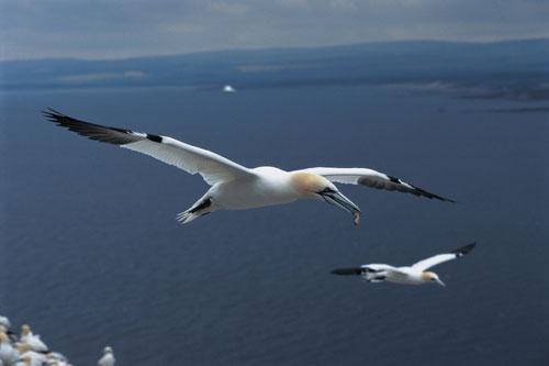 איי פארן – עופות בים הצפוני של אנגליה וסקוטלנד