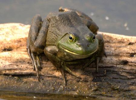 מיליוני צפרדעים מגיעות לצלחות ברחבי העולם