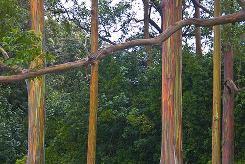 איקליפטוס צבעוני – עץ קשת בענן