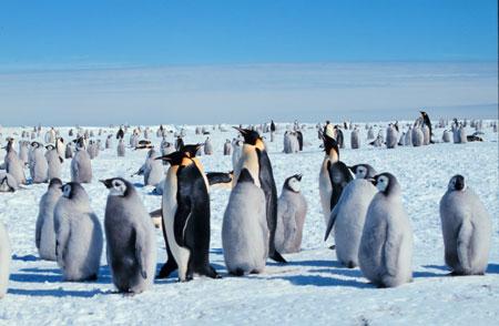 הפינגווינים הגדולים של אנטארקטיקה בסכנה