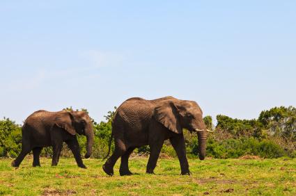 אפריקה – יש פילים באופק