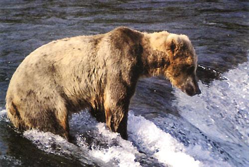 מפגשים עם דובי גריזלי באלסקה