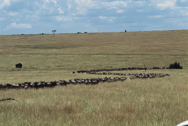 טנזניה: הנדידה הגדולה