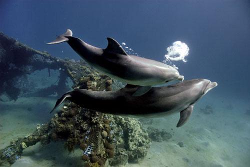 האם לדולפינים יש תרבות?