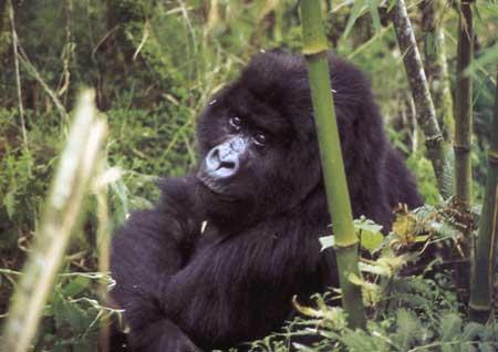 גורילות באפריקה – ענקי ההרים השחורים