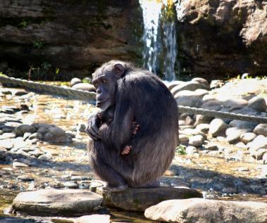 מחקר: שימפנזים מזהים את חבריהם לפי ישבנם