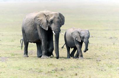 פילים – חוכמת הענקים