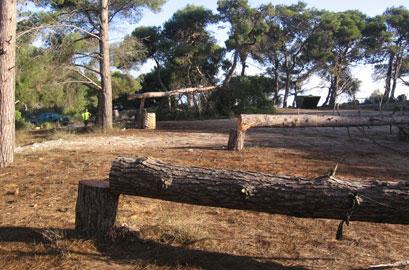עשרות עצי אלון עתיקים הושחתו בכרמל