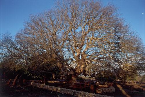 עצים עתיקים בישראל