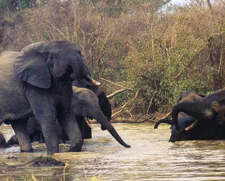 גאנה: לפני שהפילים יהפכו לזיכרון
