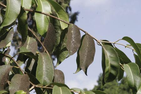 עץ הג'אמון – צמחים ברפואה