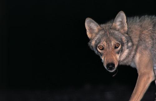 צילום זאבים בערבה