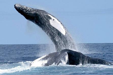 מחקר שופך אור חדש על שירת לוויתנים