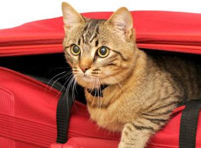חתול שנעלם בטיסה נמצא בריא ושלם אחרי חודשיים
