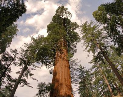 ענקים נופלים: עצי סקוויה קרסו וחסמו דרך ידועה
