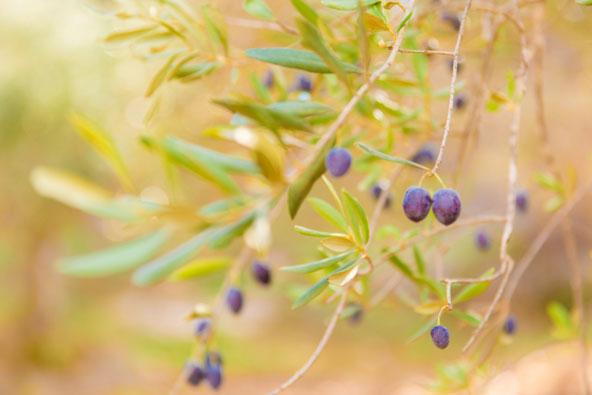 חגיגות ענף הזית בגליל