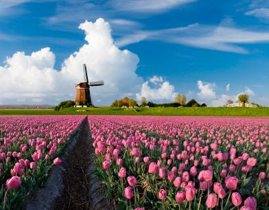 צבעונים – להיט הולנדי
