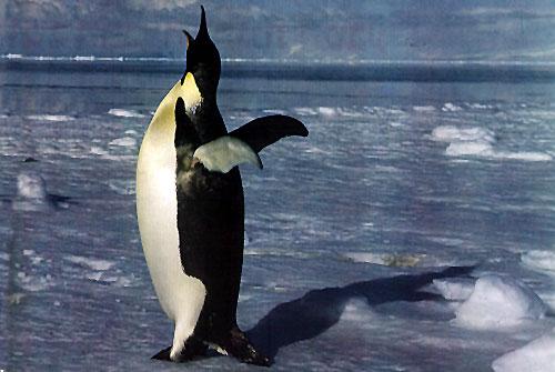 מפגשים עם הפינגווין הקיסרי באנטארקטיקה