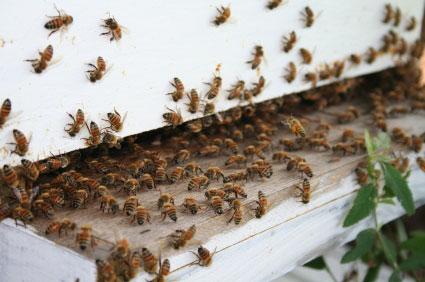 דבורים: לאן הן נעלמות