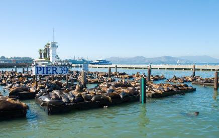 אריות הים נוטשים את המזח בסן פרנסיסקו