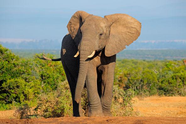 שמורת אדו בדרום אפריקה – לא רק פילים