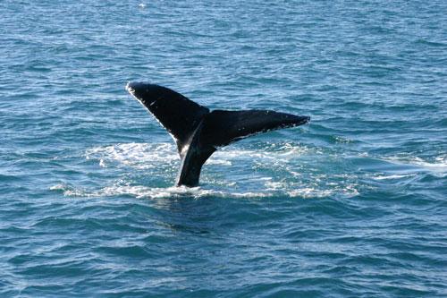 לוויתנים תחת אזהרה