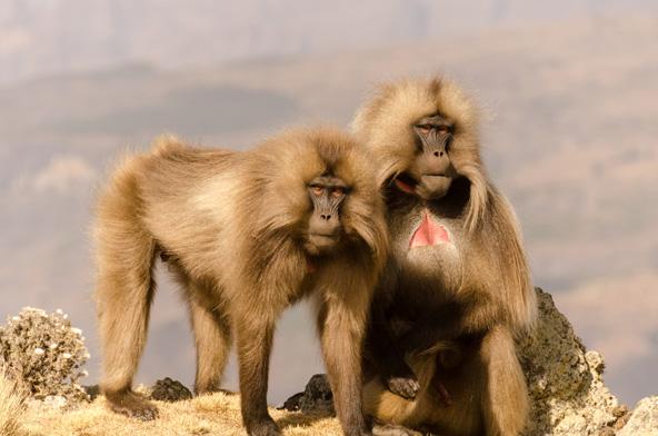 צמד של בבוני ג'ילדה, קופים החיים ברכס סימיאן