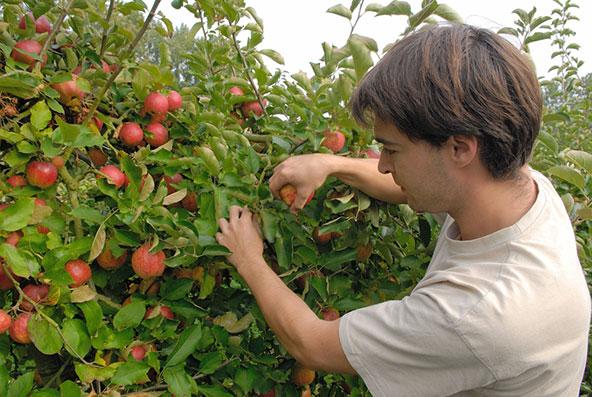 קטיף תפוחים בנורמנדי