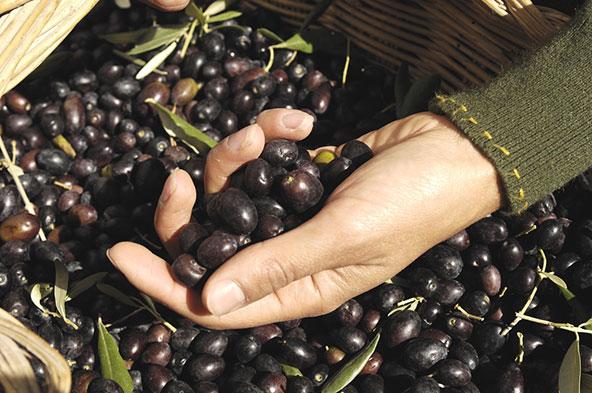 מסיק זיתים באומבריה, מתענוגות הסתיו הפתוחים בפני מטיילים חובבי טבע וקולינריה