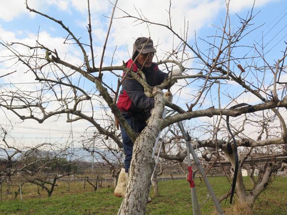 שינגו גוזם ומעצב את עצי האגס-תפוח היפניים במשך ארבעה חודשים, עד האביב והפריחה המחודשת
