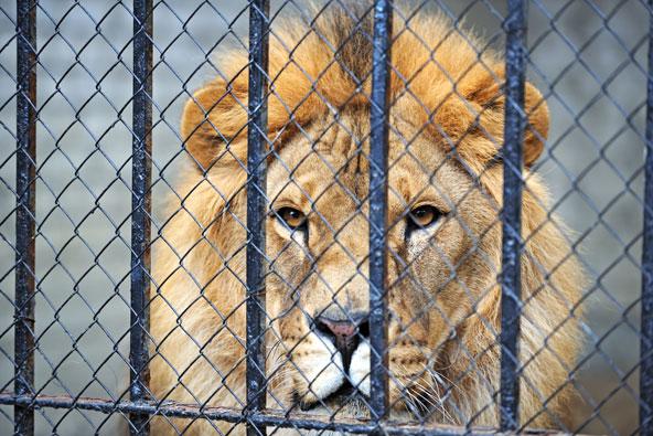 אריות דמים – ציד בכלובים בדרום אפריקה